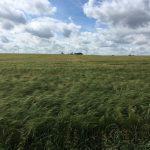 Healthy winter barley